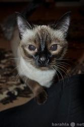 ищем тайского котика на вязку