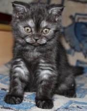 котята британские (плюшевые шубки). Возраст 2 месяца