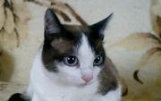 В добрые руки пристраивается метис тайской кошки.
