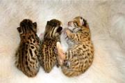 Саванна,  сервала и гепарда Котята для продажи