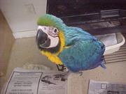 6дома,  поднятые и зарегистрирован синих и золотых попугаи ара для прод