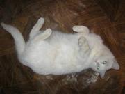 Молодая белая кошечка в добрые руки!