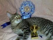 Кот породы Чаузи приглашает на вязку