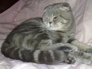 Кот,  Скоттиш - Фолд Enriko ,  голубой мраморный,