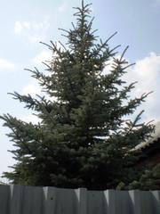 Продам голубую ель в Челябинске.
