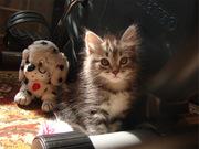 Сибирские котята с родословной!